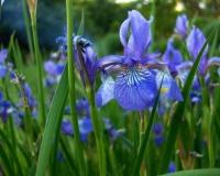 a-serbische-iris