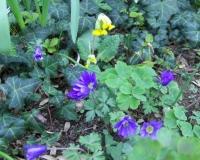 anemone-u-schluesselblume