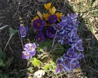 april-krokusse-09-050