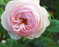 heritage-engl-rose