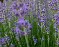 juli-10-lavendel