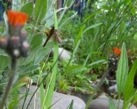 juli-10-libelle-schlpft