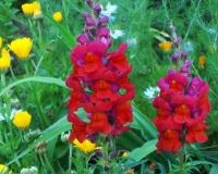 loewenmaeulchen-mit-ringelblumen