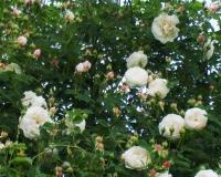 rosa-alba-mme-plantier