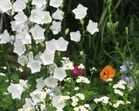 web-mutterkraut-u-glockenb-glockenblumen-weiss-20-06-13_8897