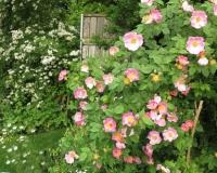 web-rose-complicata-20-06-13_8874