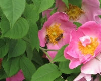 web-rose-complikata-20-06-13_8864