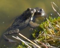 april-09-froschpaar