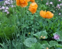 april-2009-oranger-mohn-a