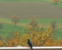 eisvogel-es-gibt-nur-ca-300-paare-in-der-schweiz-2010