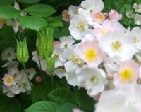 juni-10-wildrosen-in-naturhecke