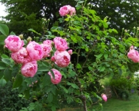 rosenstaemmchen-raubritter