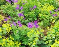 strochenschnabel-mit-frauenmantel-juni
