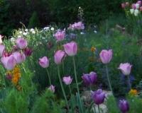 tulpen-und-goldlack