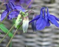 web-blaue-blume-28-05-13_8262