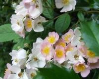 wilde-rosen