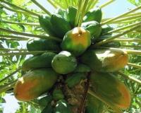 e-33-papayas-wachsen-auf-der-finca